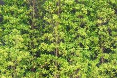 Предпосылка стены изгороди баньяна Стоковая Фотография