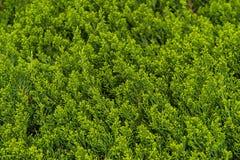 Предпосылка съемки ветвей сосны горизонтальной Стоковое фото RF