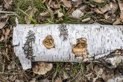 Предпосылка с ветвью и грибом березы Стоковое фото RF