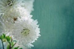 предпосылка с границей белых хризантем Стоковые Изображения
