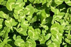 Предпосылка с зеленым клевером лист Стоковое Изображение