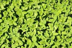 Предпосылка с зеленым клевером лист Стоковые Изображения