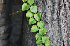 Предпосылка с листвой плюща в парке Стоковое Изображение RF
