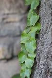 Предпосылка с листвой плюща в парке Стоковая Фотография