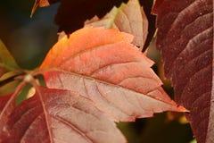 Предпосылка с листвой плюща Стоковая Фотография RF