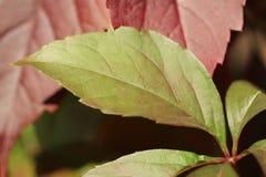Предпосылка с листвой плюща Стоковая Фотография