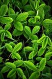 Предпосылка с листьями клубники Стоковые Изображения