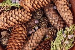 Предпосылка с конусами спруса и сосны, ягодами можжевельника, туей разветвляет Стоковые Изображения