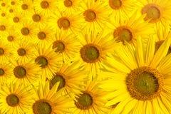 Космос текста предпосылки солнцецвета Стоковые Изображения