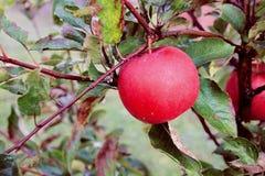 Предпосылка с красными яблоками на завтрак-обеде стоковые изображения