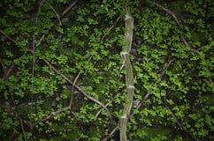 Предпосылка с мхом и плющом на кирпичной стене Стоковые Фотографии RF