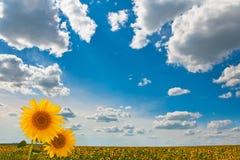 Предпосылка с облаками и солнцецветами Стоковое Фото