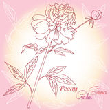 Предпосылка с одним розовым пионом Стоковая Фотография