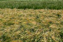 Предпосылка с пшеницей 15 Стоковые Фото