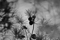 Предпосылка с сосной конусов Стоковая Фотография