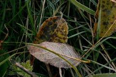 Предпосылка с травой и листьями в заморозке утра Стоковое Изображение