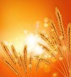 предпосылка с ушами золота пшеницы и sunrays Стоковые Изображения