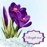 Предпосылка с фиолетовыми крокусами в snow-EPS10 Стоковые Изображения RF