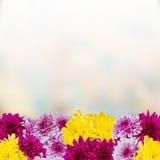 Предпосылка с хризантемой Стоковое Изображение RF