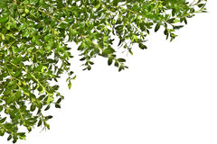 Предпосылка с sprigs boxwood на белой предпосылке Весна Пасха стоковые изображения