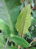 Предпосылка текстуры листьев Стоковые Изображения RF