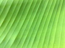 Предпосылка текстуры лист банана конца-вверх Стоковое фото RF