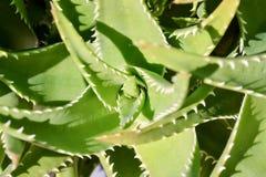 Предпосылка текстуры кактуса Стоковая Фотография RF
