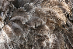 Предпосылка текстуры коричневого цвета пера птицы страуса Стоковые Фотографии RF