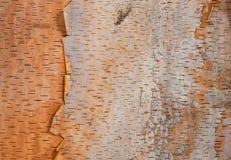 Предпосылка текстуры коры дерева березы Стоковая Фотография RF