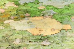 Предпосылка текстуры коры дерева клена Стоковые Изображения
