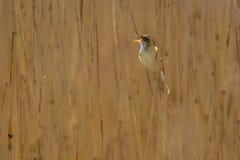 Предпосылка тростника певчей птицы осоки петь Стоковые Фотографии RF