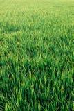 Предпосылка луга зеленой травы Стоковое Изображение