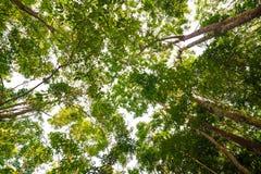 Предпосылка фермы резинового дерева на Таиланде стоковая фотография