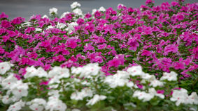 Предпосылка фиолетовых и белых цветков Стоковая Фотография RF
