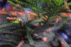 Предпосылка фото макроса араукарии Стоковое фото RF
