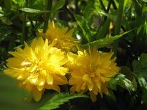 Предпосылка фото макроса с кустами Kerrie желтыми бутона цветка падения декоративными или ` роз пасхи ` Стоковое фото RF