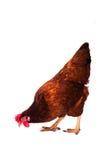 Предпосылка фуражировать цыпленка белая Стоковые Изображения RF