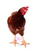 Предпосылка фуражировать цыпленка белая Стоковое фото RF