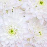 Предпосылка хризантемы белых цветков Стоковая Фотография