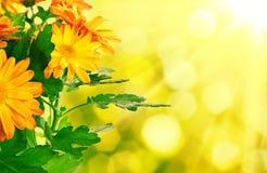 Предпосылка хризантемы флористическая стоковое изображение