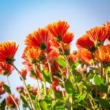 Предпосылка хризантемы Стоковые Фотографии RF