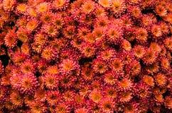 Предпосылка хризантемы Стоковая Фотография