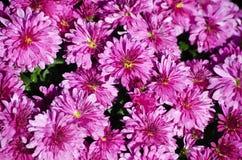Предпосылка хризантемы Стоковое Изображение