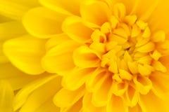 Предпосылка хризантемы Стоковое фото RF