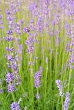 предпосылка цветет лаванда Стоковые Изображения RF