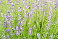 предпосылка цветет лаванда Стоковые Изображения
