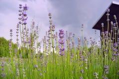 предпосылка цветет лаванда Стоковая Фотография RF