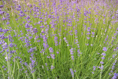 предпосылка цветет лаванда Стоковые Фотографии RF