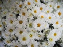 предпосылка цветет белизна Стоковое Изображение RF