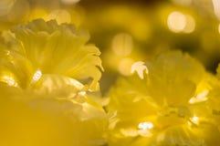 предпосылка цветет желтый цвет Стоковые Изображения RF